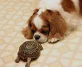 Hund og skilpadde